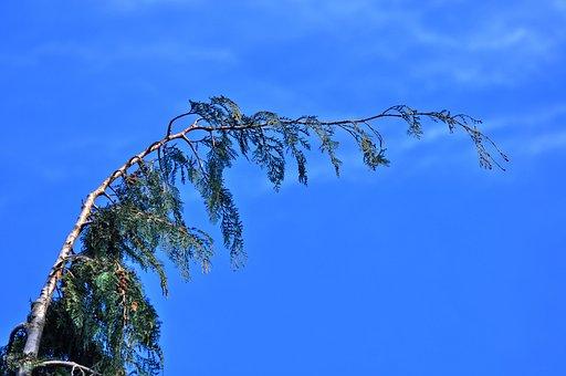 Conifer, Pine Tree, Fir, Fir Tree, Tree Top, Evergreen