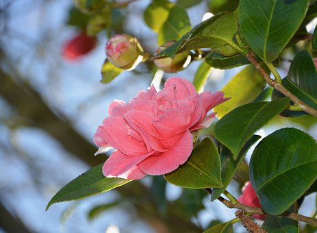 Flower, Flowers, Buttons Of Camellia, Camellia, Nature