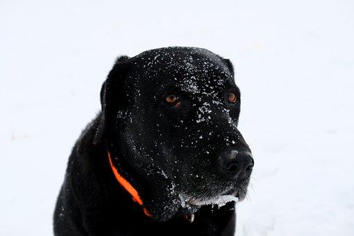 Dog, Pet, Snow, Winter, Labrador, Retriever, Poodle