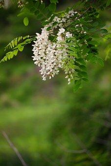 Nature, Plants, Wood, Flowers, Leaf, Acacia
