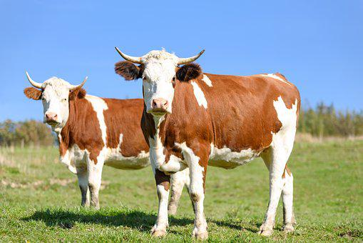 Cows On Pasture, Milk, Beef Cattle, Farm