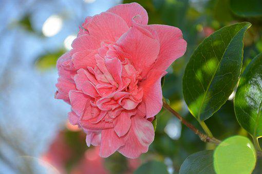 Flower, Pink Flower, Camelia, Shrub, Nature, Plant
