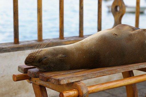 Nature, Sea Lion, Robbe, Galapagos Island, Animal World