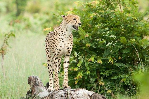 Nature, Wildlife, Grass, Outdoors, Cheeta