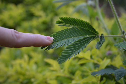 Touch Me Not, Sensitive Plant, Shy Plant, Plant