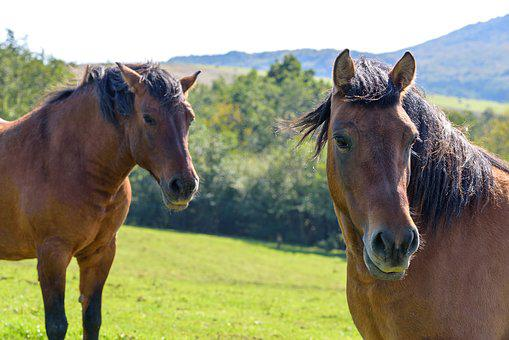 A Pair Of Horses, Pasture Land, Portrait, Para, Animals