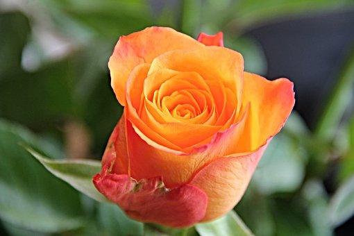 Rose, Blossom, Bloom, Orange, Flower, Rose Blooms