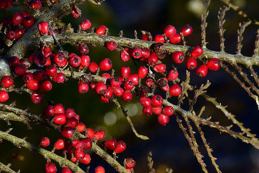 Tree, Branch, Nature, Winter, Berry, Rowan, Spring