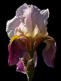 Iris, Flower, Blossom, Bloom, Schwertliliengewaechs