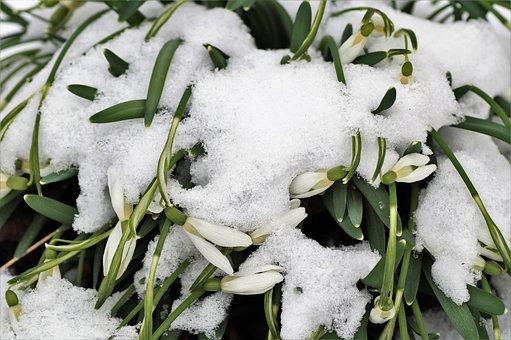 Snowdrops, Under The Snow, Frozen, Spring, Snowdrop