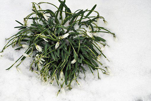Snowdrops, Cluster, Frozen, Snowy, In The Snow