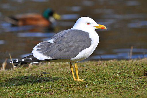 Seagull, Gull, Bird, Waterbird, Animal, Wildlife
