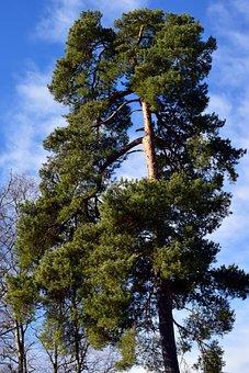 Pine, Conifer, Winter, Periwinkle, Sky, Clouds, Blue