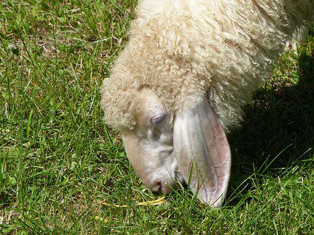 Grass, Nature, Animal, Mammal, Sheep, Field, Wool