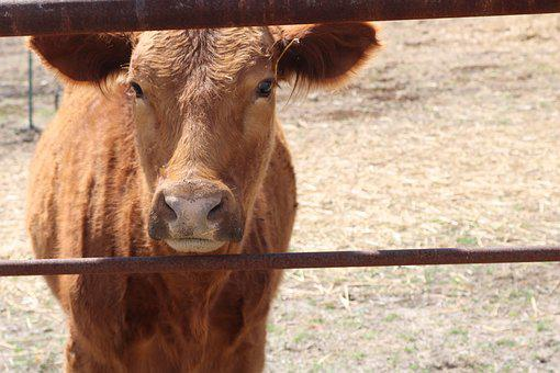 Animal, Farm, Cattle, Agriculture, Nature, Cow