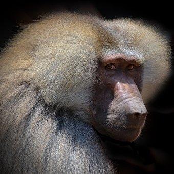 Baboon, Portrait, Face, Close, View, Monkey, Primate