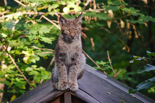 Lynx, Baby Lynx, Zoo, Wildcat, Predator, Cute