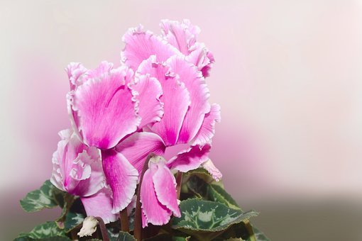 Cyclamen, Cyclame, Blossom, Bloom, Flower, Nature