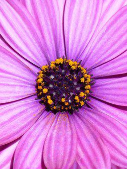 Daisy, Purple, Magenta, Foreground, Petals, Flower