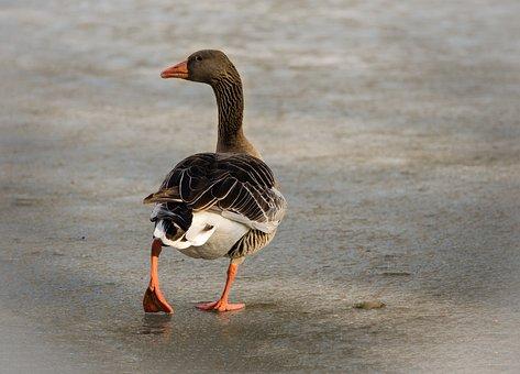 Greylag Goose, Feather, Water Bird, Bird, Duck, Waters