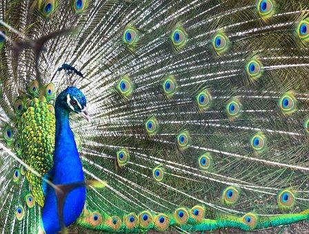 Peacock, Feather, Bird, Peafowl, Dancing