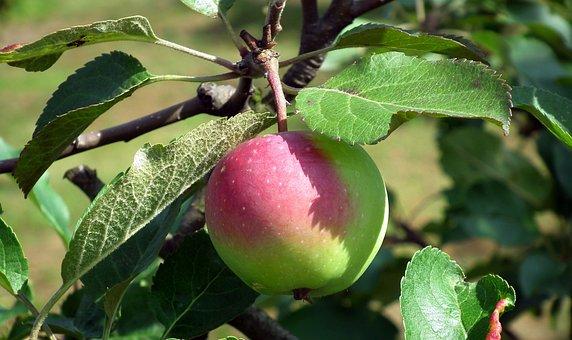 Fruit, Apple, Sprig, Nature, Leaf, Tree