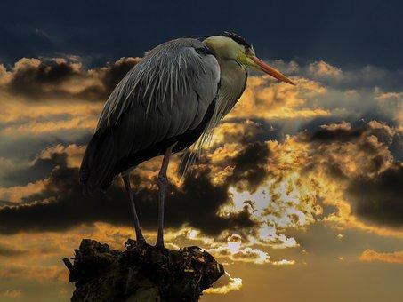 Nature, Animal, Bird, Animal World, Heron, Water Bird