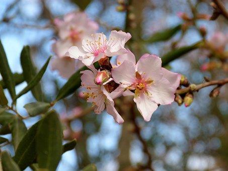 Flower, Branch, Plant, Tree, Nature, Almonds, Almond