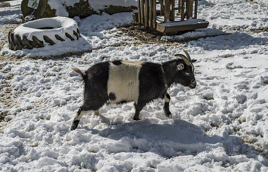 Goat, Snow, Winter, Cold, Nature, Mammal, Wisent