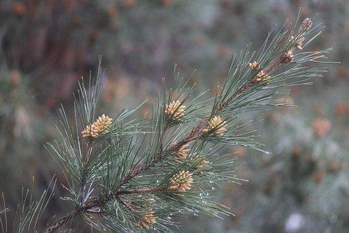 Tree, Nature, Needle, Flora, Outdoors, Season, Branch