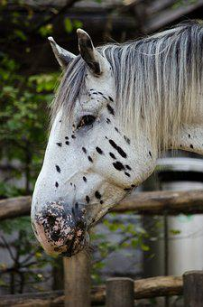 Horse, Noriker, Mare, Points, Pippi Longstocking, Mane