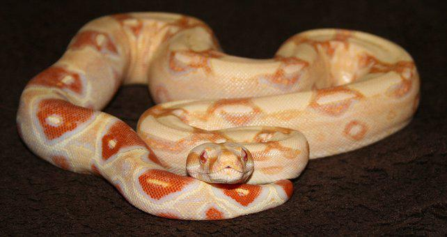 Boa, Snake, Reptile, Yellow, Baby, Orange, Albino