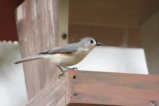Bird, Outdoors, Tufted Titmouse, Nature, Wildlife