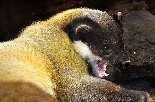 Yellow Throated Marten, Gold Marten, Asia, Tooth