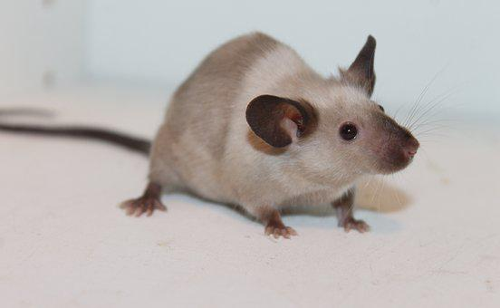 Mouse, Rodent, Rat, Pest, Mammal, Siamese, Fancy, Cute