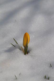 Nature, A, Flower, Plant, Season, Crocus, Snow