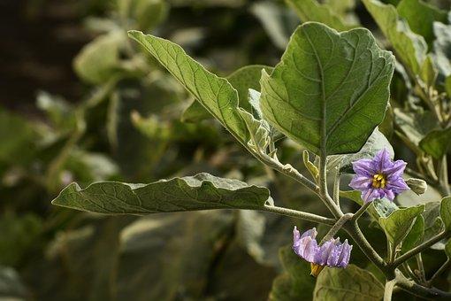 Leaf, Nature, Flora, Flower, Purple, Lovender