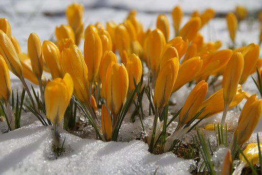 Nature, Flower, Plant, Season, Crocus, Snow