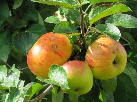 Apples, Tree, Ripe, Hanging, Fruit, Healthy