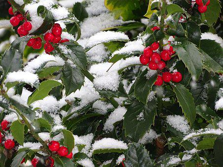 Ilex, Berry, Tree, Leaf, Nature, Blue Prince, Snow