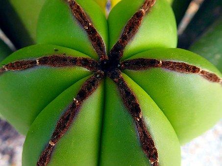 Nature, Plant, Cactus, Desert, Close Up, Leaf