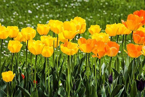 Nature, Flower, Flora, Garden, Tulip, Blossom, Bloom