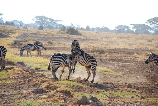 Zebra, Nature, Safari, Wildlife, Mammal