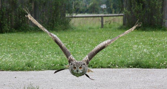 Nature, Animal, Animal World, Grass, Eagle Owl, Raptor