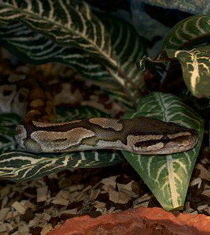Snakehead, Python, Reptile, Animal World, Hidden, Snake