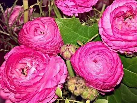 Flowers, Ranunkeln, Spring Flowers, Large Flowers, Pink
