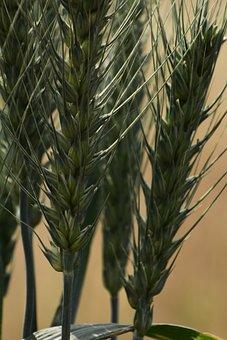 Grain, Wheat, Seed, Nature, Flora, Growth, Summer