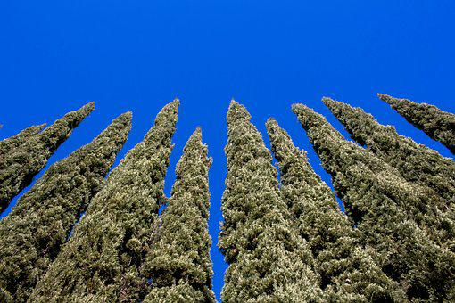 Evergreen, Trees, Blue, Skies, Nature, Outdoors