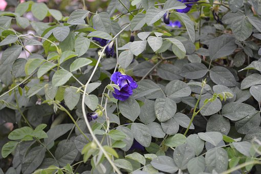 Butterfly Pea, Flower, Cats, Purple, Nature, Vine, Leaf