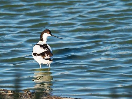 Pied Avocet, Bird, Avian, Water, Wading, Nature